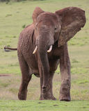 African Elephant Male Royalty Free Stock Images