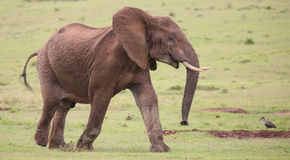 African Elephant Male. Large male African elephant with trunk extended smelling for water Royalty Free Stock Photos