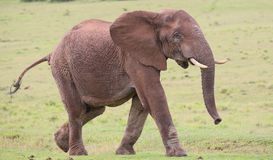 African Elephant Male Stock Photos