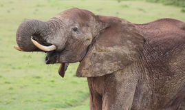 African Elephant Male Royalty Free Stock Photos
