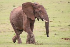 African Elephant Male Stock Image