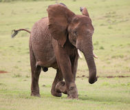 African Elephant Male Royalty Free Stock Photography