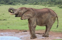 African Elephant Male stock photo