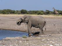 African elephant male, Loxodonta a.africana, at waterhole, Etosha National Park, Namibia. The African elephant male, Loxodonta a.africana, at waterhole, Etosha stock photo