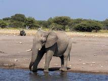 African elephant male, Loxodonta a.africana, at waterhole, Etosha National Park, Namibia stock images