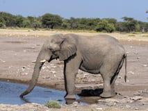 African elephant male, Loxodonta a.africana, at waterhole, Etosha National Park, Namibia royalty free stock photo