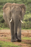 African Elephant Male Walking in the Wild Stock Photography