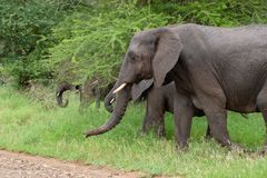 Free African Elephant Mamal Animals In The National Park Kruger South Africa Stock Photography - 139173602