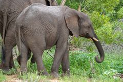 Free African Elephant Mamal Animals In The National Park Kruger South Africa Royalty Free Stock Image - 139173606