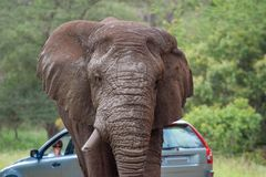 Free African Elephant Mamal Animals In The National Park Kruger South Africa Royalty Free Stock Image - 139173626