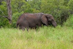 Free African Elephant Mamal Animals In The National Park Kruger South Africa Stock Photo - 139173650