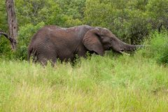 Free African Elephant Mamal Animals In The National Park Kruger South Africa Royalty Free Stock Images - 139173659
