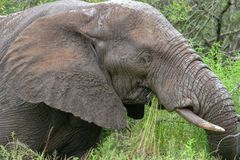 Free African Elephant Mamal Animals In The National Park Kruger South Africa Royalty Free Stock Images - 139173709