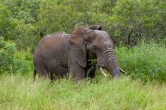 Free African Elephant Mamal Animals In The National Park Kruger South Africa Royalty Free Stock Photography - 139173717