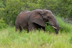 Free African Elephant Mamal Animals In The National Park Kruger South Africa Stock Images - 139173734
