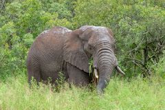 Free African Elephant Mamal Animals In The National Park Kruger South Africa Royalty Free Stock Image - 139173746