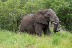 Free African Elephant Mamal Animals In The National Park Kruger South Africa Stock Photography - 139173812