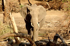 Southern african animals. African elephant at Mapungubwe waterhole Royalty Free Stock Photo