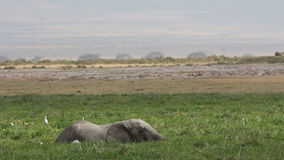African elephant in marshland stock video