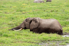 African elephant in marshland Royalty Free Stock Photography
