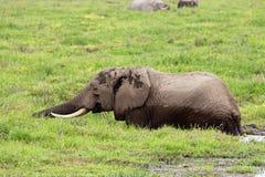 African elephant in marshland. African elephant (Loxodonta africana) feeding in marshland, Amboseli National Park, Kenya royalty free stock photography