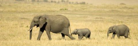 African Elephant Masai mara Kenya Stock Image