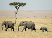 African Elephant Masai mara Kenya. Two Elephants alone with a little baby in the hot savana stock images