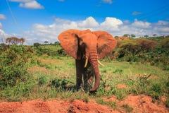 African elephant on the masai mara kenya Stock Photo