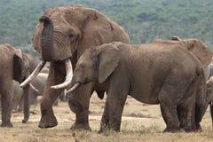 African Elephant Mates stock photos
