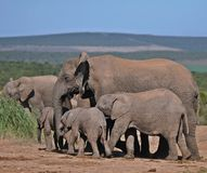 African Elephant Matriarch and Family Royalty Free Stock Photo