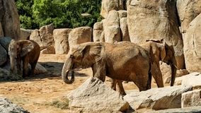 African elephant in the middle stock image