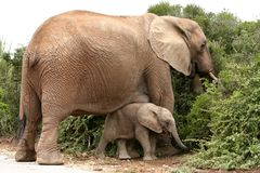 African Elephant Mom and Baby royalty free stock photos
