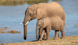 African Elephant Mom and Baby Royalty Free Stock Image