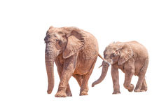 African Elephant mother and calf, isolated in white. An African Elephant mother and large calf, isolated in white, Loxodonta africana, walking Royalty Free Stock Photo