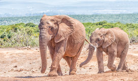 African Elephant mother and calf. An African Elephant mother and large calf, Loxodonta africana, walking Royalty Free Stock Photography