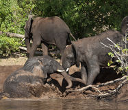 African Elephant Mud Bath - Botswana. Group of African Elephants (Loxodonta africana) enjoy a cooling mud bath on the banks of the Chobe River in Chobe National Royalty Free Stock Photo