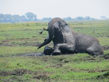 African elephant in the mud stock image