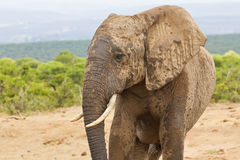 African elephant with a muddy face Stock Photos