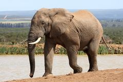 African Elephant in Musth Royalty Free Stock Image