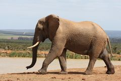 African Elephant in Musth Stock Photo