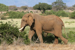African Elephant in Musth Royalty Free Stock Photography