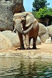 African elephant in natural environment. Stock Photo