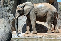African elephant in natural environment. Stock Images