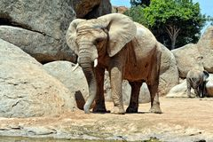 African elephant in natural environment. Royalty Free Stock Photography