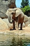 African elephant in natural environment. Royalty Free Stock Images