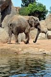 African elephant in natural environment. Royalty Free Stock Photo