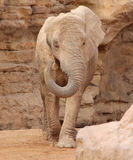 African elephant in natural environment. Bio Park in Valencia, Spain. Royalty Free Stock Photography