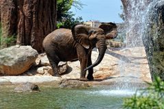 African elephant in natural environment standing under the water Stock Photos