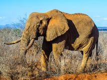 African Elephant in natural habitat, Ngorongoro Conservation Area, Tanzania, Africa. Royalty Free Stock Images