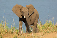 African elephant in natural habitat Stock Photo